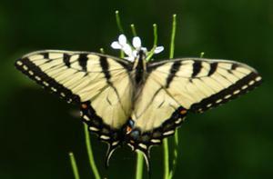 Tiger_swallowtail2