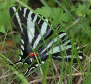 Zebra_swallowtail1